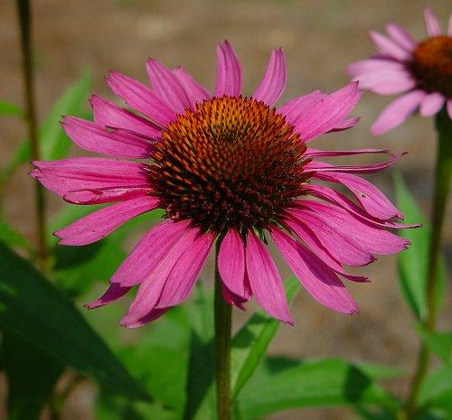 Pretty Echinacea
